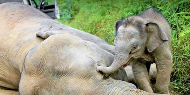 Liūdna našlaičio Borneo nykštukinio drambliuko Džo istorija