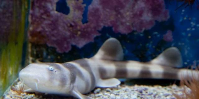 Jūrų muziejuje delfinus laikinai keičia rykliai